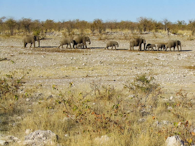 African Bush Elephants (Loxodonta africana), Etosha N.P.