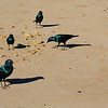 Greater Blue-eared Glossy-starlings (Lamprotornis chalybaeus), Etosha N.P.