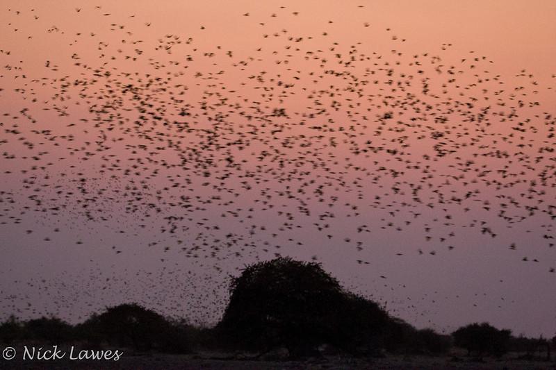 Flock at dusk