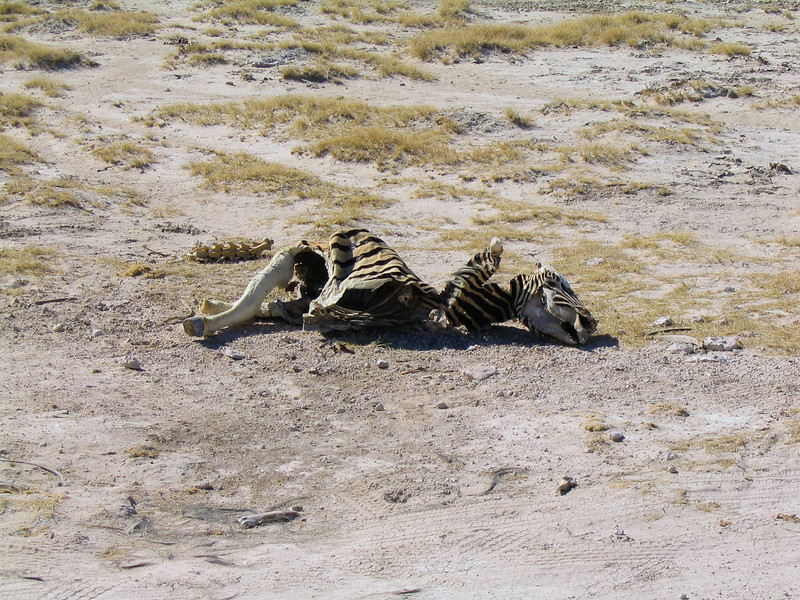 zebra remains, Etosha N.P.