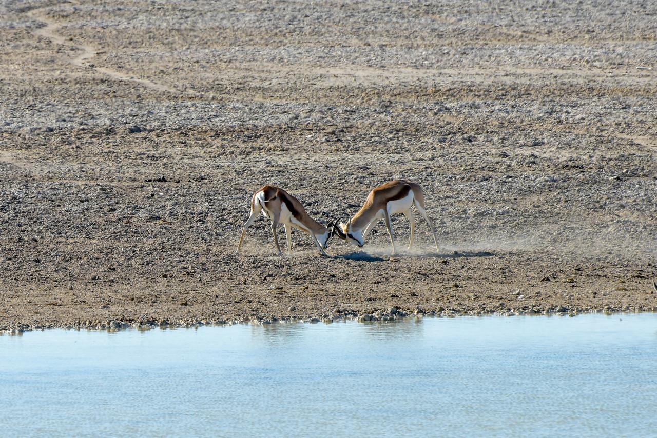 Springbok in Etosha National Park
