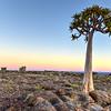 Quiver Tree - Namibia