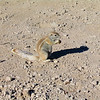 South African Ground Squirrel, Etosha N.P.
