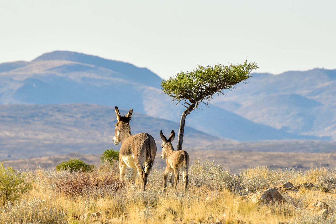 Donkeys in Namibia