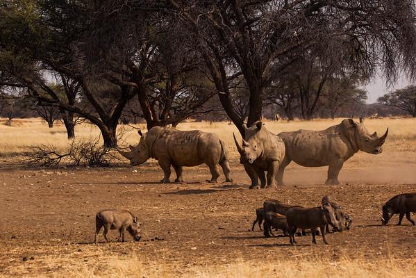 White Rinos and warthogs