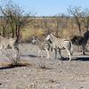 Plains Zebra (Equus quagga, formerly Equus burchelli), Etosha N.P.