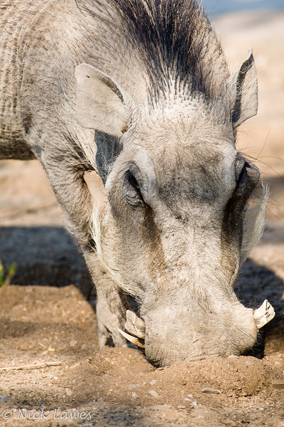 Warthog in the camp