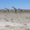 Giraffes (Giraffa camelopardalis), Etosha N.P.