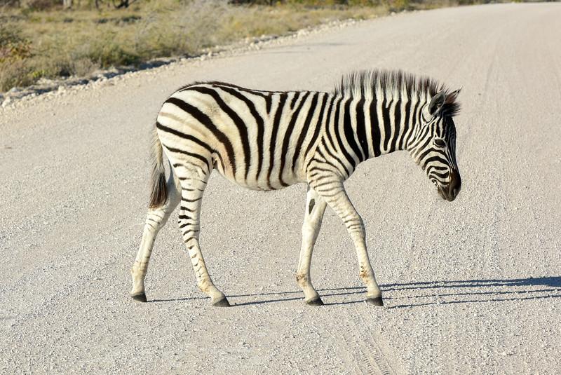 Baby Zebra - Etosha, Namibia