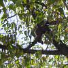 Southern White-faced Owl (Ptilopsis granti), Etosha N.P.