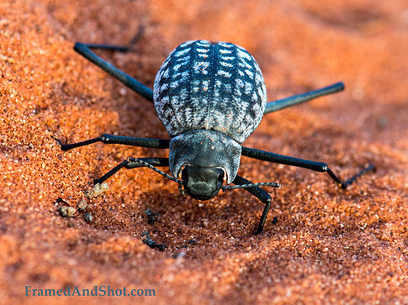 """<strong><center><b>Tok Tokkies belong to the Tenebrionid family, the darkling beetles. There are about 200 species of that beetle family in Namibia and about 20 have adapted to live in the arid dunes.  Tok Tokkie is the common name for all the beetles which produce a """"tokking"""" sound when tapping their rear end on the ground. They perform this serenade in order to attract a mate. Tokkies of the Namib have developed extra long legs which keep them away from the hot sand. These legs are specially adapted for running on the Namib sand. Research has shown that the Namib beetles are much slower on sand of other deserts."""