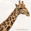 <strong><center> <b>Giraffe Portrait I<br> The Giraffe is the tallest living terrestrial animal and the largest ruminant.  It stands 5–6 m (16–20 ft) tall and has an average weight of 1,600 kg (3,500 lb) for males and 830 kg (1,830 lb) for females.