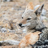 <strong><center><b>- A resting black backed jackal (Canis mesomelas)</strong></center> Black-backed jackals are small, fox-like canids and are the smallest of the three species called jackal. They measure 30–48 cm (12–19 in) in shoulder height and 60–90 cm (24–35 in) in length. They are omnivores, and feed on invertebrates, such as beetles, grasshoppers, crickets, termites, millipedes, spiders and scorpions.