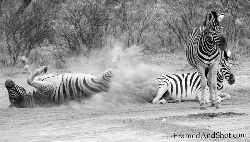 <strong><center><b> Sand-bathing Zebras.