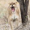 """<strong><center><b>It happens in a split of a second. The  lioness goes from observing to making her point very clear ~ from """" a rather big pussycat"""" to an wild animal with strength and power."""