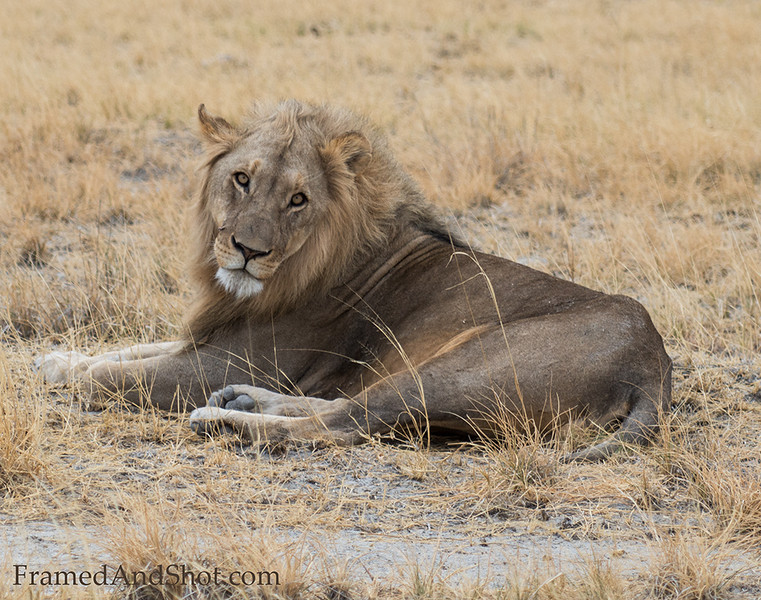<strong><center>Male Lion I <br> </center></strong>