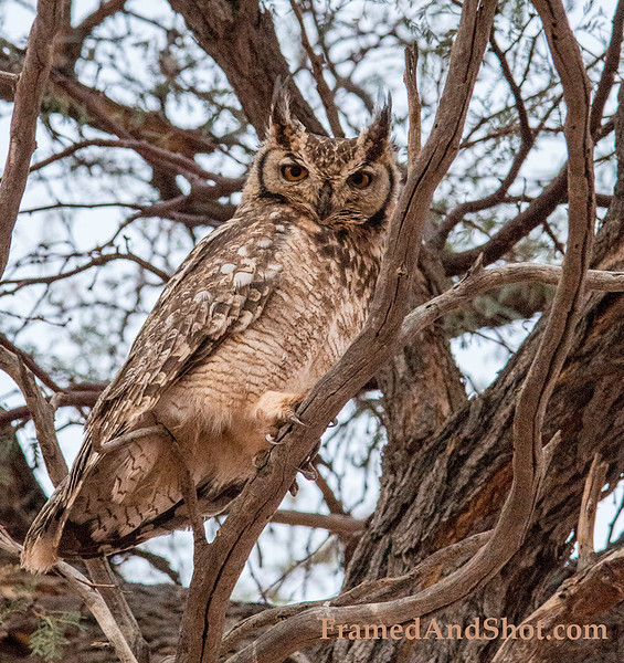 <em><strong><center><b>An African Scops Owl - <br>  or so we think. Classification is sometimes  hard, if you have other suggestions  ~ let us know.