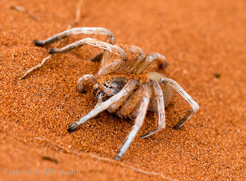 <strong><center><b>White Lady Spider (Leucorchestris arenicola) is a huntsman spider found in the deserts of Namibia. It relies on seismic vibrations for communication, tapping its foremost legs on the sand to send messages to other white lady spiders. Male white lady spiders will travel more than a mile in one night searching for a mate, and If they do find a mate, they must be extremely careful, for drumming the wrong message can be deadly - If the female is pleased with what she hears, she may mate - but if not, the males will instead be eaten.