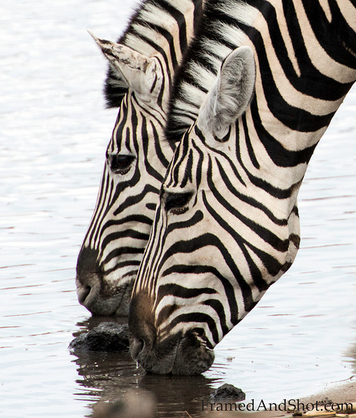 <strong><center><b>Zebras are fascinating, You probably know that every zebra has a unique pattern of black and white stripes, - but did you know that the different theories which attempt to explain zebra's unique stripes mostly are related to camouflage? (Does not explain the need for individual stripes though!)  And did you know that Zebras are standing up while sleeping? And that you can tell the mood of a Zebra by looking at its ears?