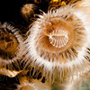 Plumose Anemone