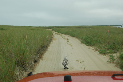 This poor bird just would not get off the road...