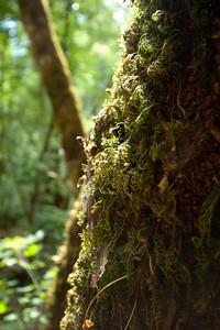 Redwood, Bothe Napa State Park