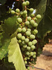 Grapes on the vine in July