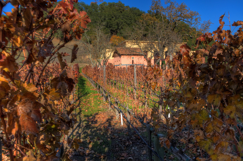 A view looking down a row of grape vines.