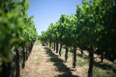 Vineyard, Robert Mondavi, Napa Valley, California