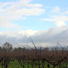 Dormant vines in the rain