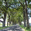 Trees lined the road at Napier, New Zealand.