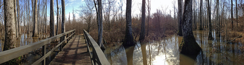 The tupelo cypress swamp; Natchez Trace Parkway, around mile post 122. Panorama taken by Rita with her iPhone.