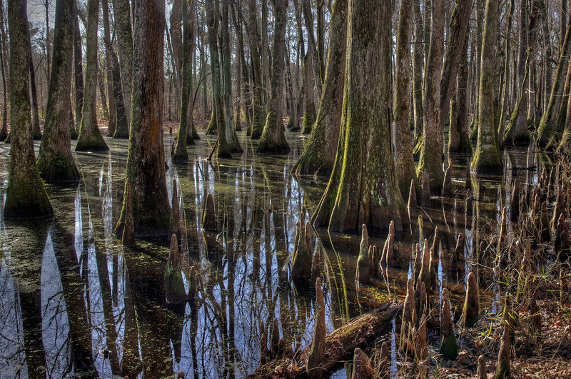 The cypress swamp. Natchez Trace Parkway mile marker 122. hdr