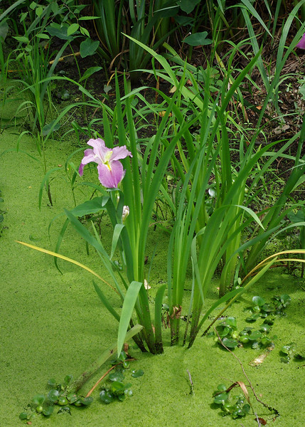 Iris growing beside a tributary of Cane River Lake; Fort St. Jean Baptiste State Historic Site, Natchitoches, Louisiana.