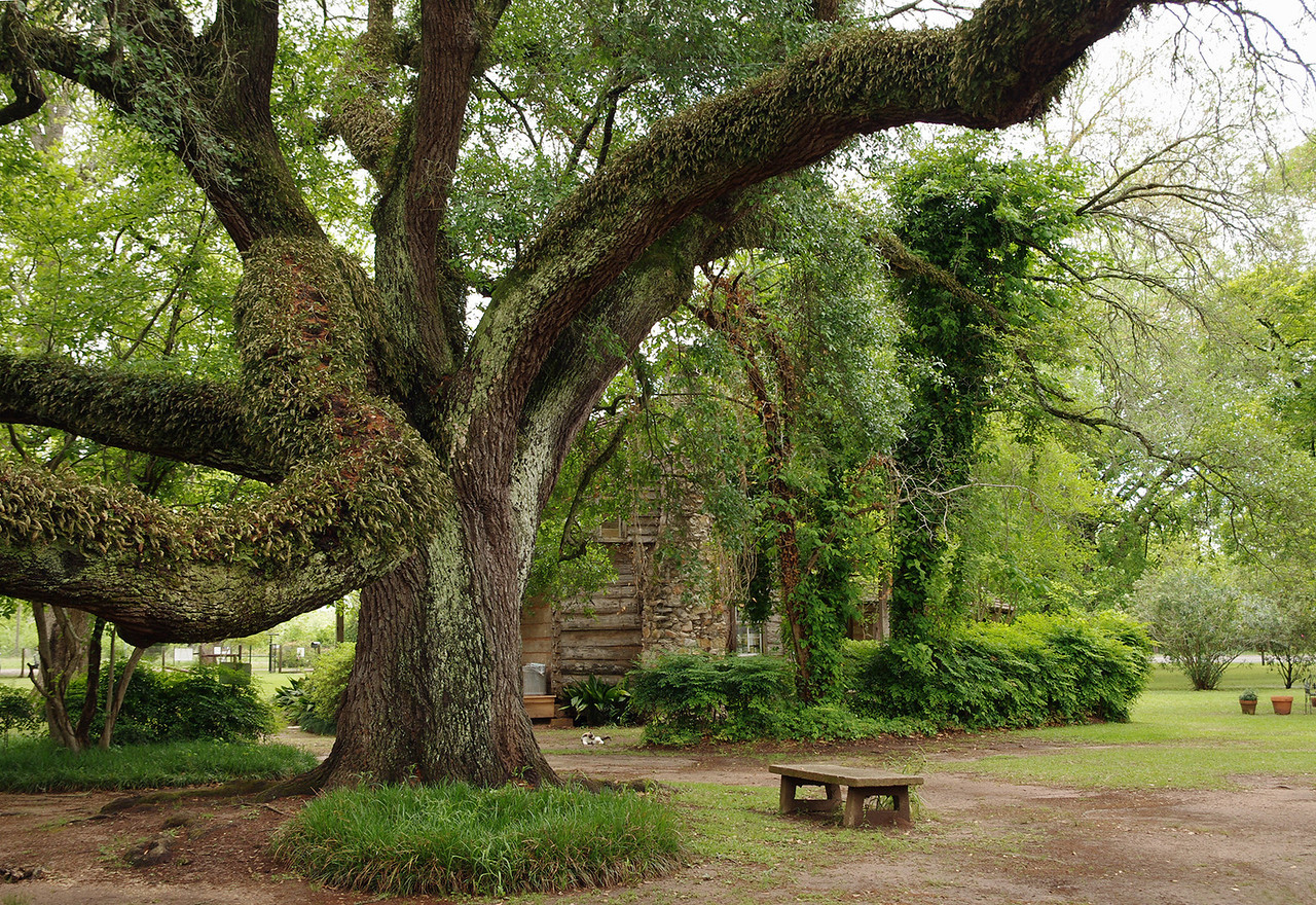 Live oak, Melrose Plantation, near Natchitoches, Louisiana.