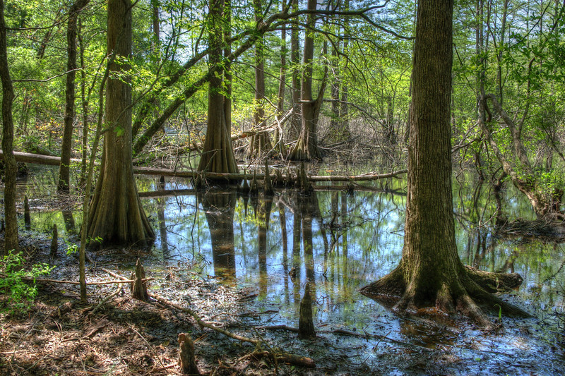 Swamp scene, Corney Lake, Louisiana.
