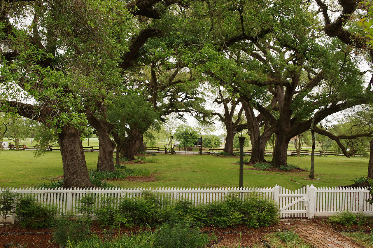 Live oaks, Oakland Plantation, near Natchitoches, Louisiana.