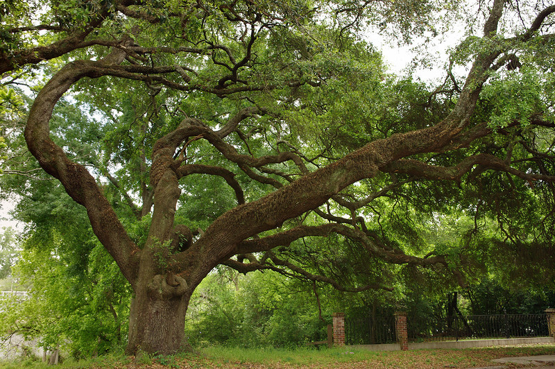 Live oak, Fort St. Jean Baptiste State Historic Site, Natchitoches, Louisiana.