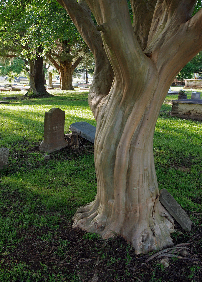 Large crepe myrtle tree, Catholic Cemetery, Natchitoches, Louisiana.