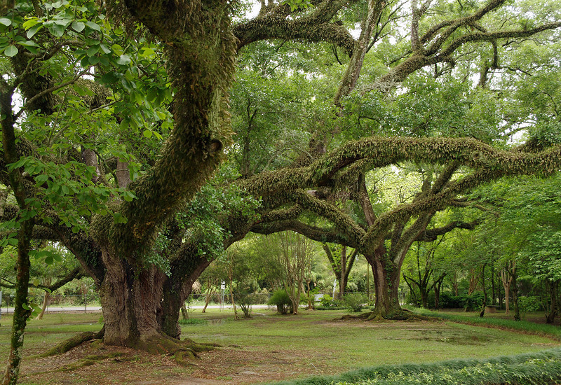 Live oaks, Melrose Plantation, near Natchitoches, Louisiana.