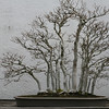 Japanese Beech<br /> <br /> Bonsai, National Arboretum