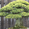 Japanese White Pine (in training since 1625)<br /> Bonsai, National Arboretum