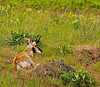 Pronghorn Deer
