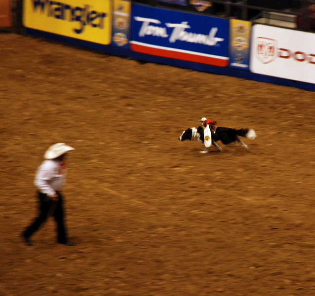 """Whiplash"", the cowboy monkey, rides a border collie to round up several sheep."