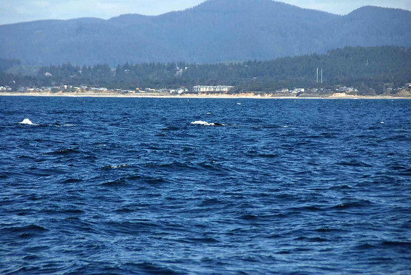 Two grey whales surface at the same time.
