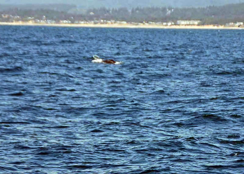 A grey whale surfaces.