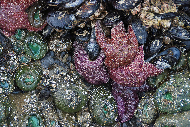 Starfish and other sea creatures on the rocks near Haystack Rock.