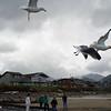 Sea gulls along Cannon Beach, Oregon.