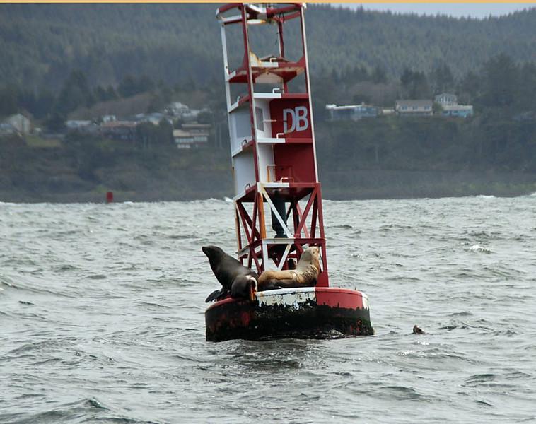A horn buoy attracts several harbor seals.