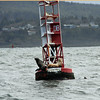 A horn buoy attracts several harbor seals.